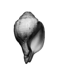The conch_image